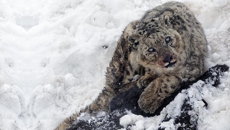 snow leopard in spiti himachal