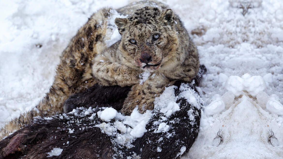snow leopard in spiti valley himachal