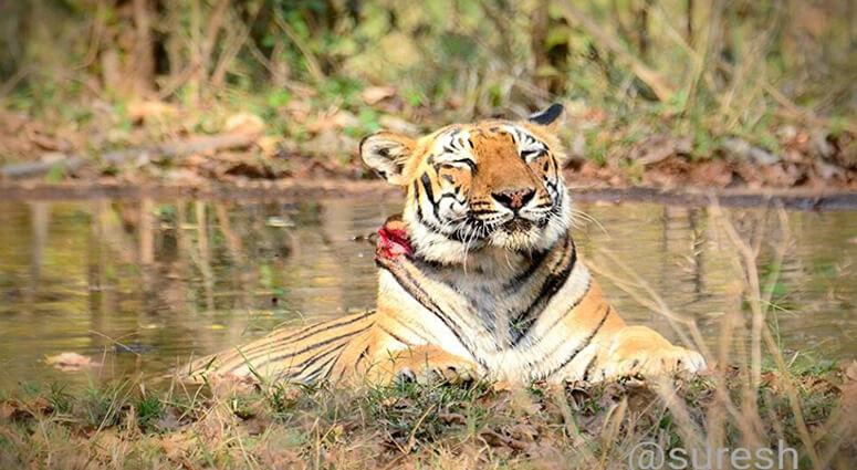 tigress wounded tadoba