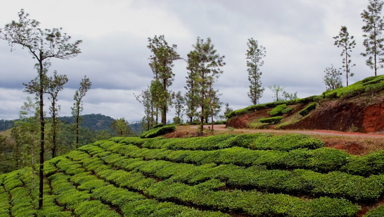 vythiri tea bushes and shade trees in the hills of vythiri northern kerala india