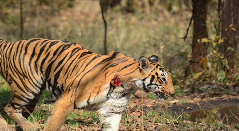 wounded tigress tadoba