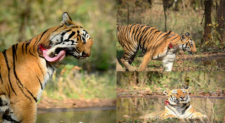 wounded tigress