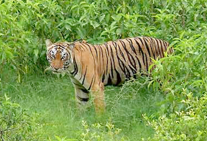 Tiger in Dandeli Wildlife Sanctuary