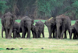 Elephants in Dandeli Wildlife Sanctuary