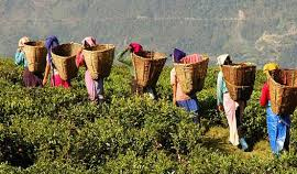 Tea Tasting Tour to Darjeeling