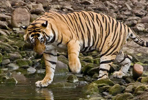 Tiger at Dudhwa National Park