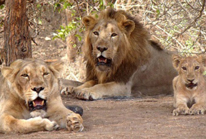 Gir National Park Jungle Safari