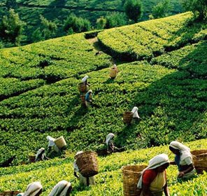 Tea Tasting Tour to Munnar