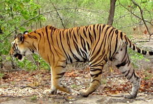 Tiger at Nandankanan Zoological Park