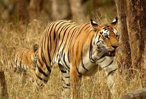 Nagzira National Park- Pench National Park Tour