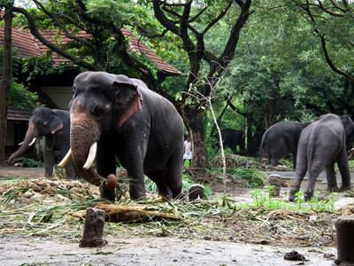 Punnathur Kotta Elephant Sanctuary, Kerala