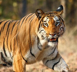 Tadoba - The Land of Tiger Tour