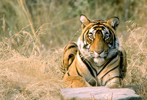 Tiger Sightseeing