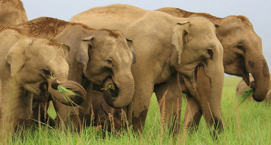 Elephant Group at Corbett