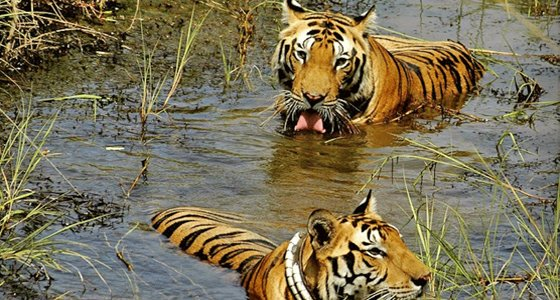 tadoba-national-park-tour