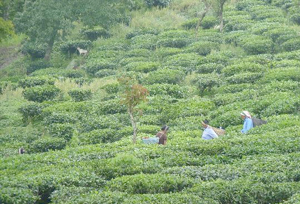 Badamtam Tea Estate