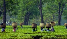 Tea Tasting Tour of Assam