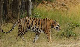 Tiger Photography Tour to Pench & Tadoba