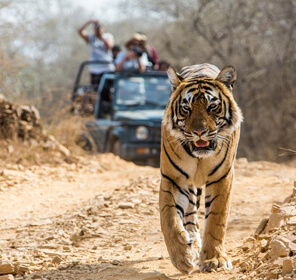 Stay with Jim Corbett Tigers