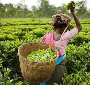 Tea Tasting Tour to Manas