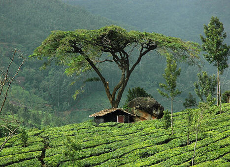 Marayoor Sandalwood Forest Munnar, Kerala