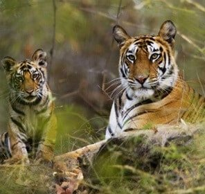Pench Tiger Tour with Nagzira